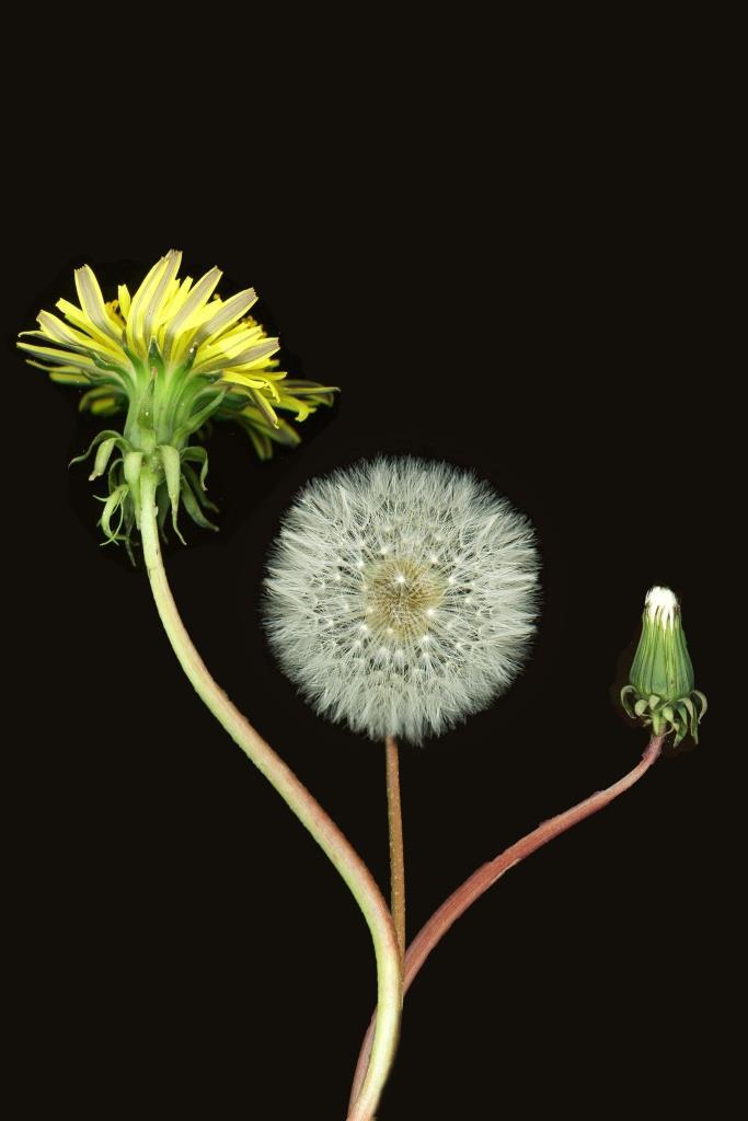 Dandelion phases 2